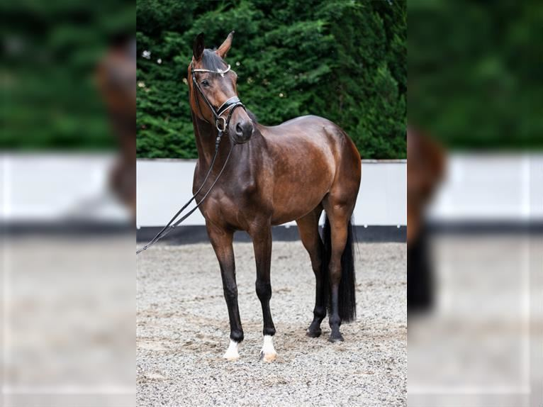 German Sport Horse Mare 4 years 16,1 hh Brown