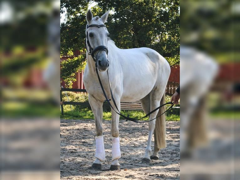 Andalusian Mare 8 years 15,2 hh Gray
