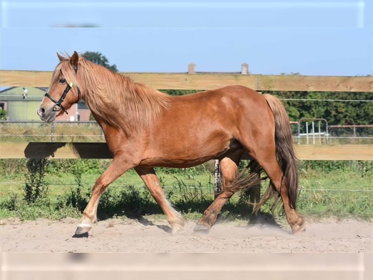 Haflinger Mix Mare 8 years 14,1 hh Chestnut-Red