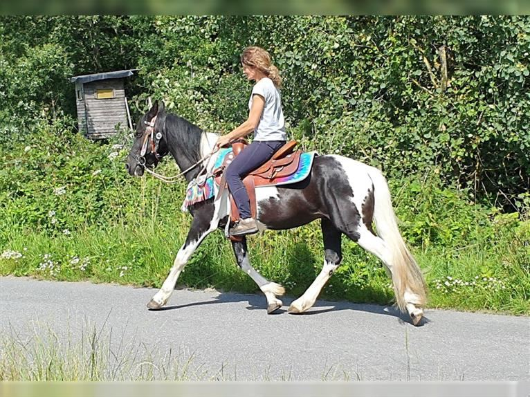 Pintos Gelding 7 years 14,1 hh Pinto