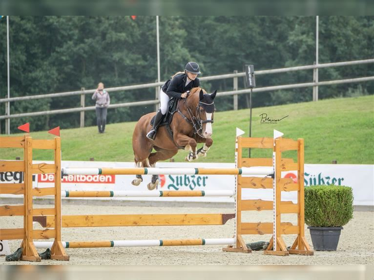 German Sport Horse Mare 12 years 15,2 hh Chestnut-Red