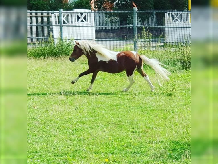 American Miniature Horse Hengst 3 Jahre 84 cm Tobiano-alle-Farben