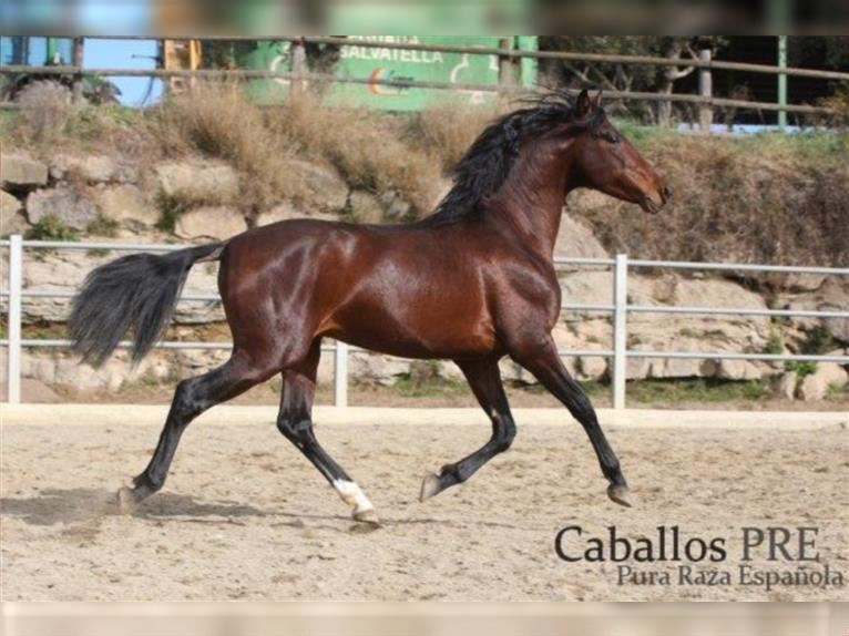 Andalusian Stallion 4 years 15,1 hh Brown
