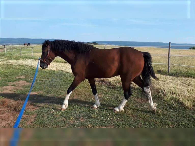Curly Horse Hengst Tobiano-alle-Farben