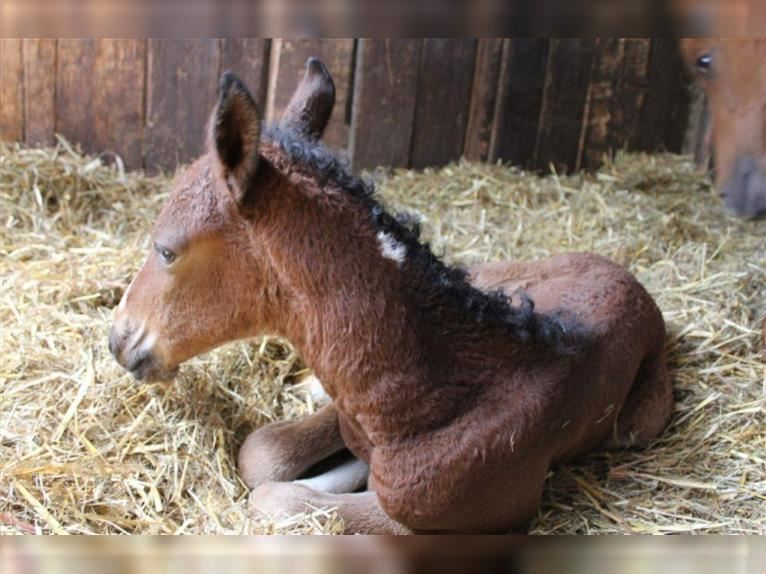 Curly horse Stallion Tobiano-all-colors