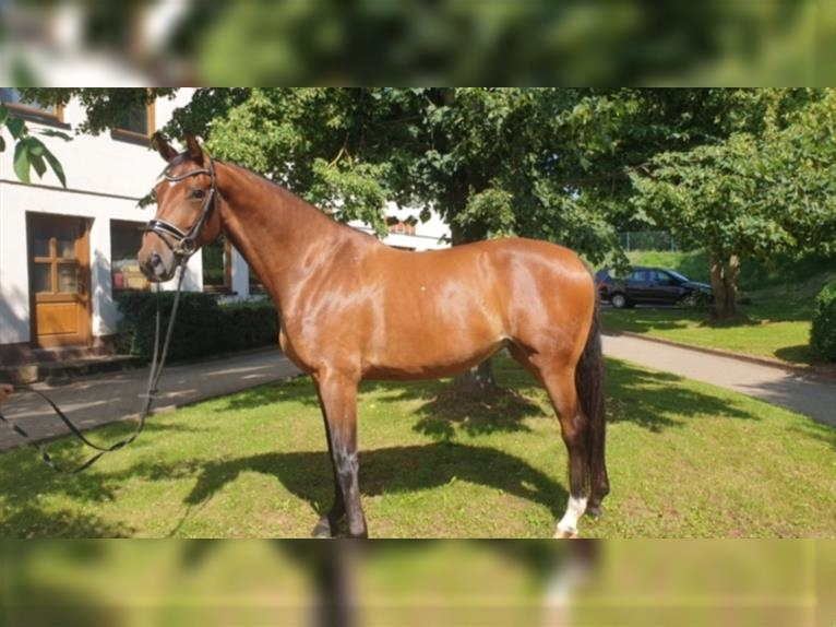 Hanoverian Mare 4 years 16,2 hh Brown
