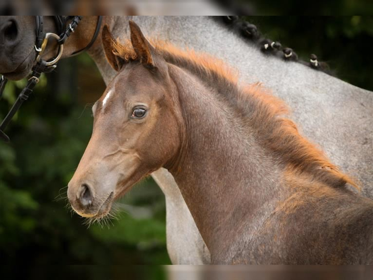 German Riding Pony Mare Foal (05/2021) Chestnut