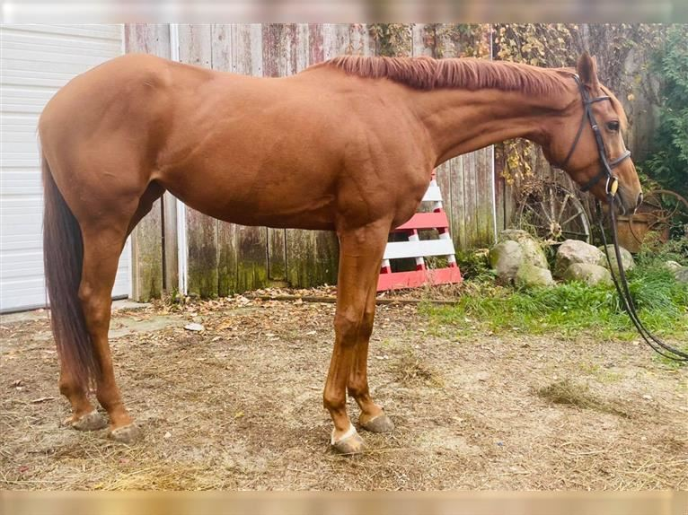 Other Thoroughbreds Mare 5 years 16 hh Chestnut