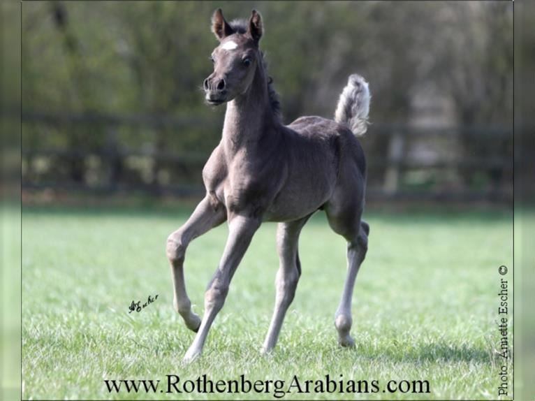 Straight Egyptian Mare Foal (03/2021) 15,1 hh Brown