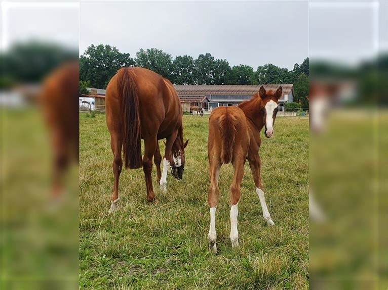 Hanoverian Mare Foal (06/2021) Chestnut-Red