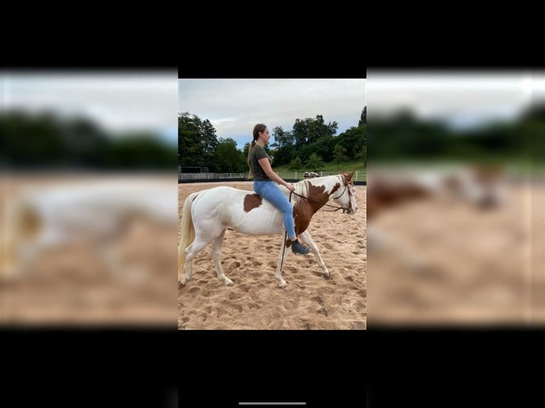 Paint Horse Hengst 5 Jahre 150 cm Tobiano-alle-Farben