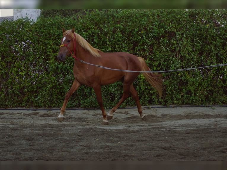 Lusitano Mare 2 years 15,1 hh Chestnut-Red