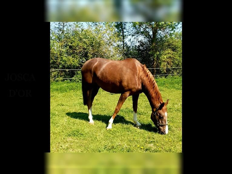 Arabian horses Mare 4 years 15,2 hh Chestnut-Red