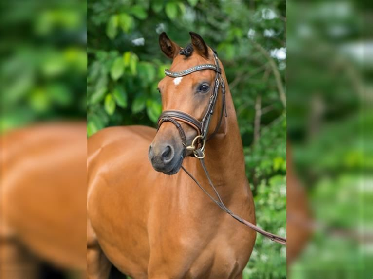 German Riding Pony Mare 8 years Brown