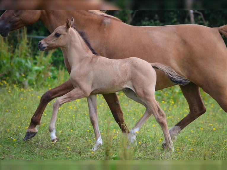 French riding pony Mare Foal (01/2021) 14,1 hh Palomino