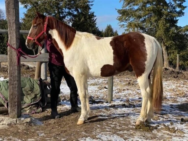 Spotted Saddle Horse Gelding 7 years 14,2 hh Pinto