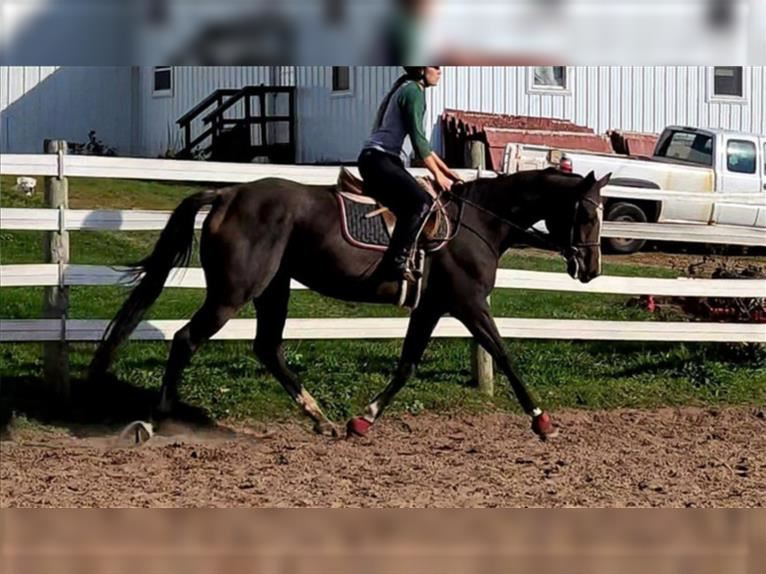Other Thoroughbreds Mare 4 years 16 hh Roan-Bay