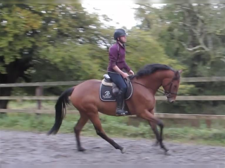 Other Thoroughbreds Mix Mare 4 years 16,1 hh Brown