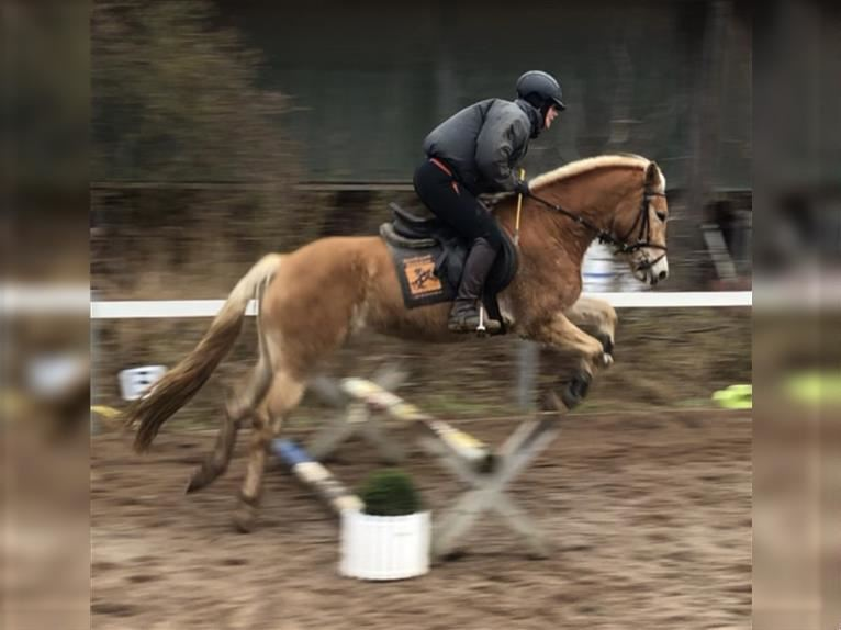 Haflinger Mare 3 years 15 hh
