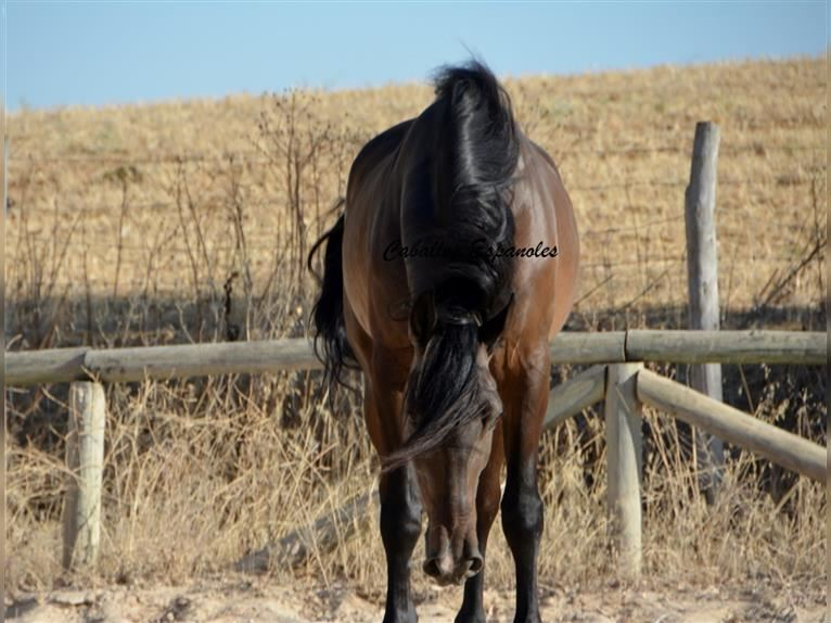 Andalusian Gelding 5 years 15,2 hh Smoky-Black