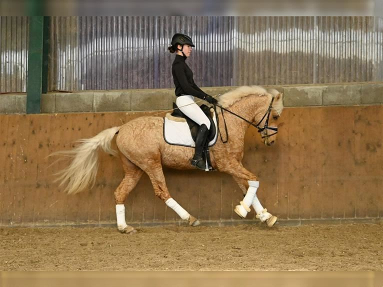 Curly Horse Hengst 3 Jahre 147 cm Palomino