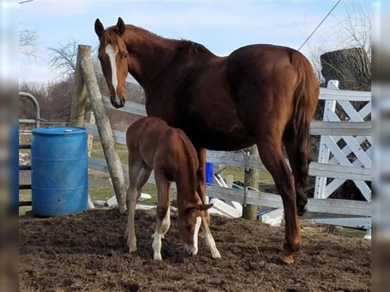Other Thoroughbreds Mare 10 years 16 hh Chestnut
