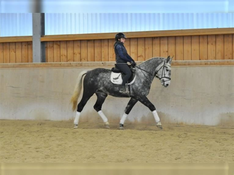 Other Warmbloods Gelding 3 years 16 hh Gray