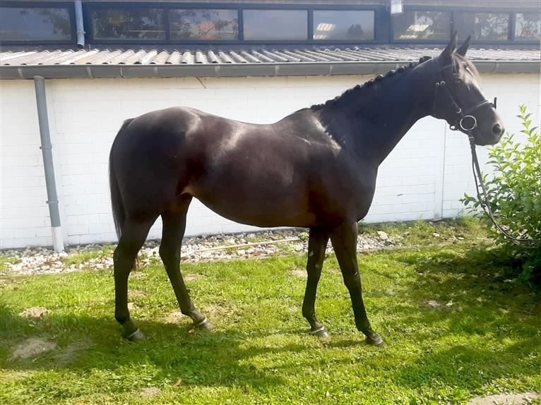 Other Thoroughbreds Mare 12 years 15,2 hh Black