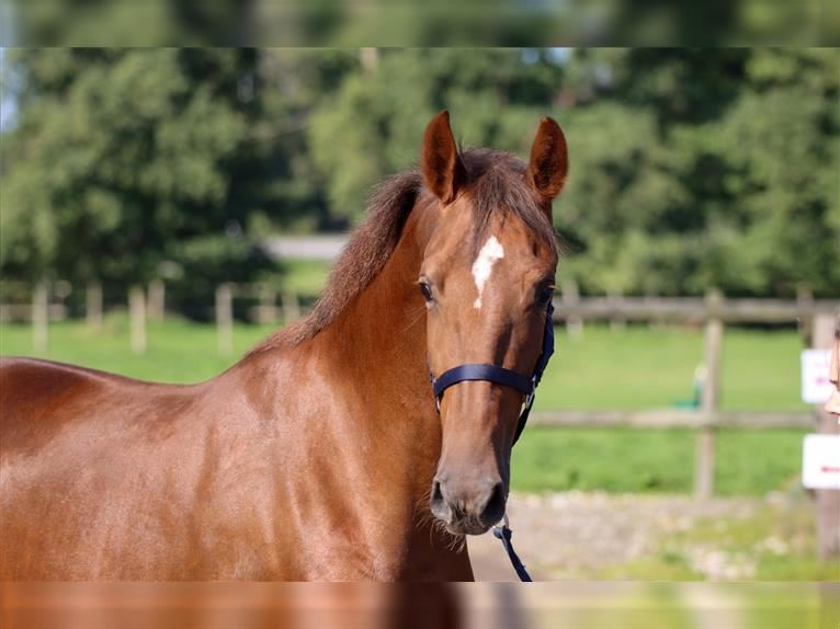 KWPN Mare 2 years 16,1 hh Chestnut