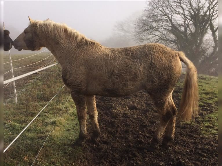 Curly Horse Hengst Palomino