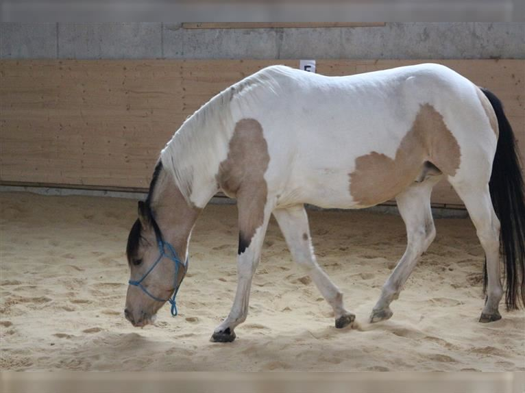 DELTA DUNIT RIGHT Paint Horse Hengst Tobiano-alle-Farben