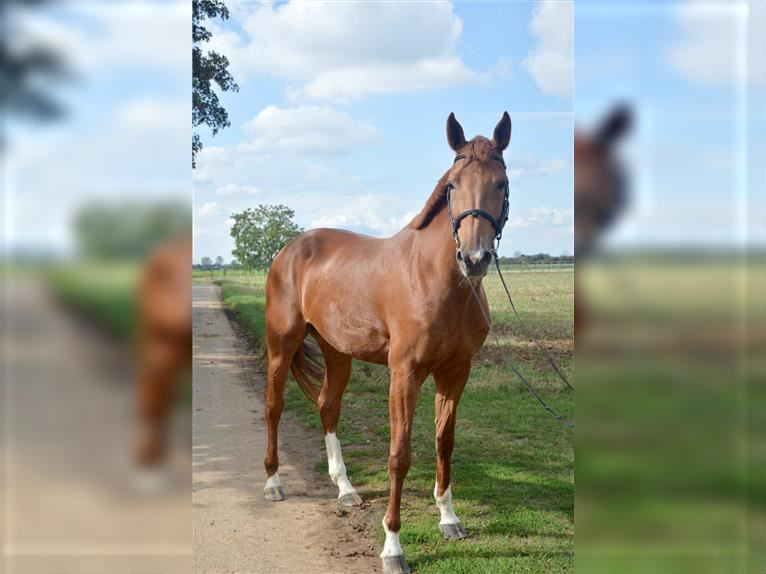 KWPN Mare 5 years 16,2 hh Chestnut-Red