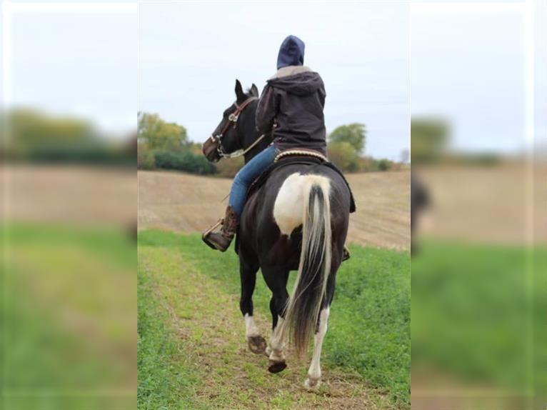 Tennessee Walking Horse Castrone 16 Anni 152 cm