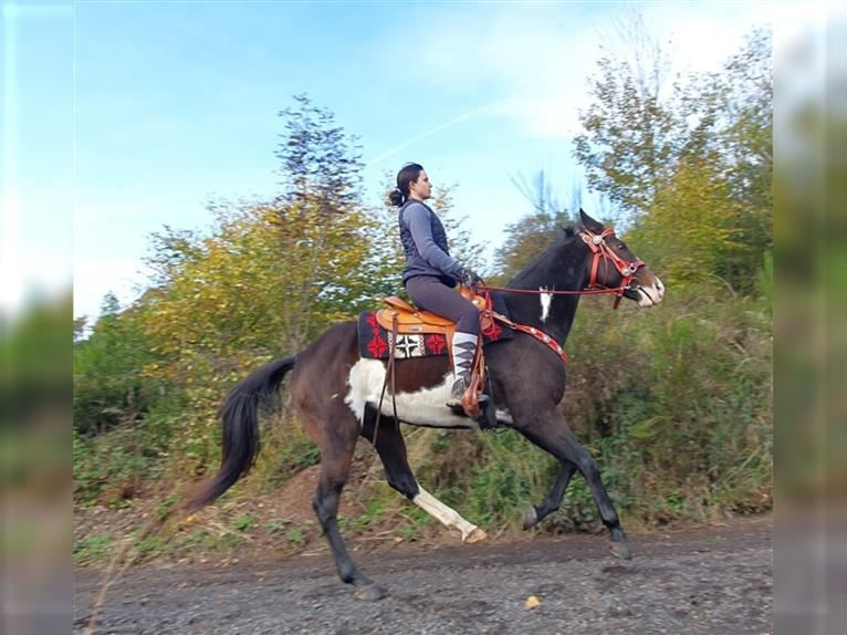 Paint Horse Gelding 12 years 15,2 hh Pinto