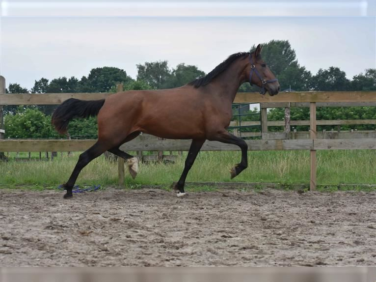 P.R.E. Mix Mare 4 years 15,2 hh Brown