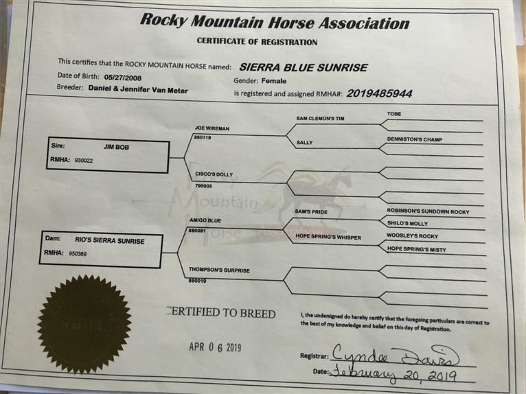 Rocky Mountain Horse Mare 13 years 15 hh Brown-Light
