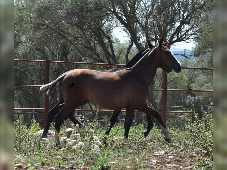 Andalusian Mare Foal (01/2021) Gray-Red-Tan