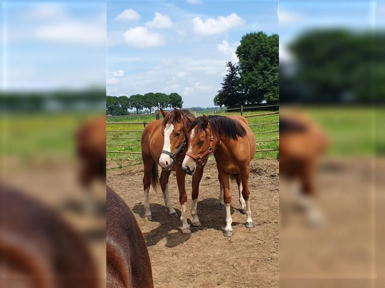 Freiberger Mare 1 year 15,1 hh Brown