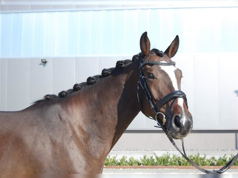 German Sport Horse Mare 4 years 16 hh Brown