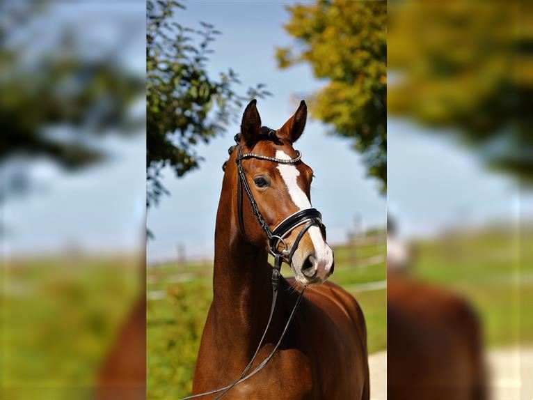 German Sport Horse Mare 5 years 16,2 hh Brown