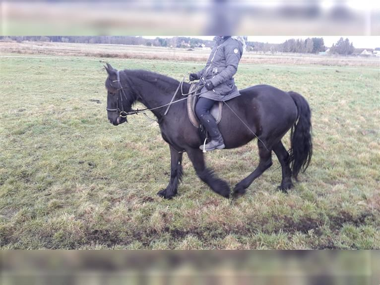 Friesian Horses Mare 10 Years 1594 Hh Black