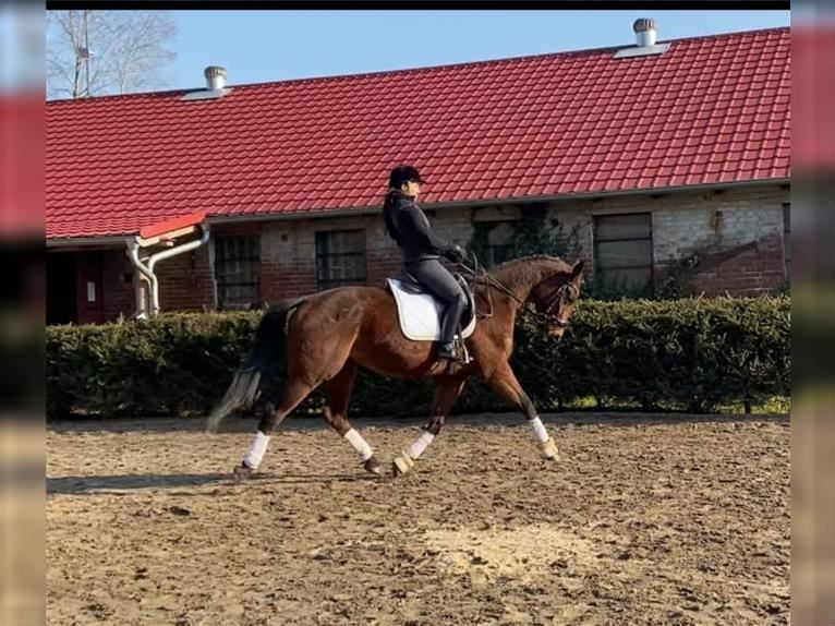 KWPN Mare 5 years 16,1 hh Brown