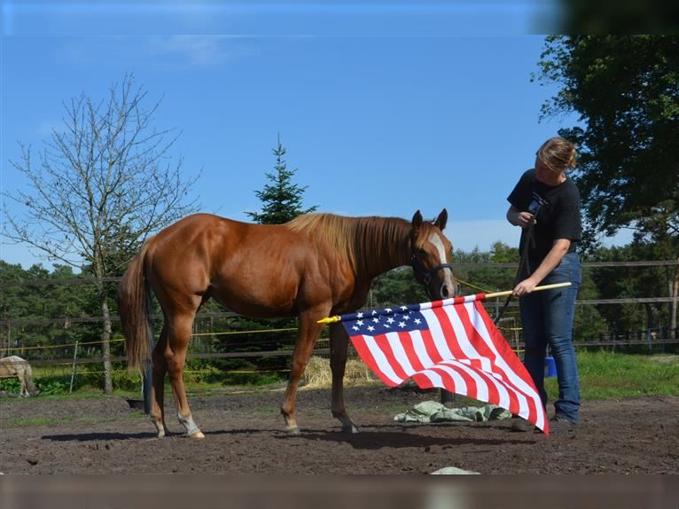 American Quarter Horse Mare 1 year 14,1 hh Chestnut-Red