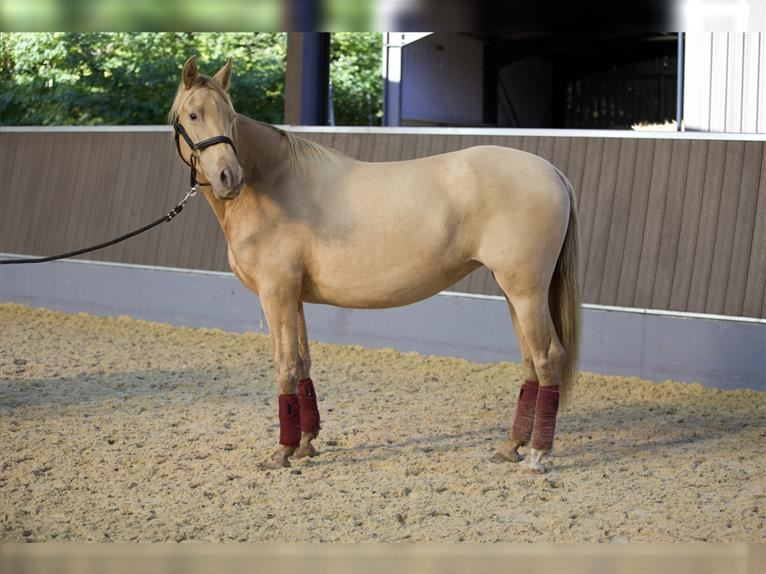 Andalusier Stute 4 Jahre 160 cm Pearl