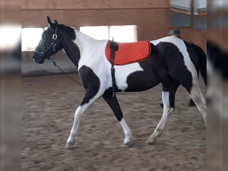 Paint Horse Wallach 3 Jahre 156 cm Tobiano-alle-Farben