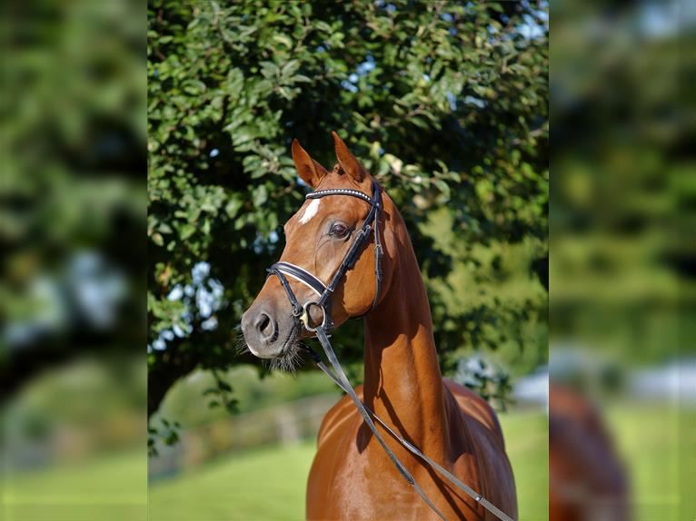 German Sport Horse Mare 4 years 16,1 hh Chestnut-Red