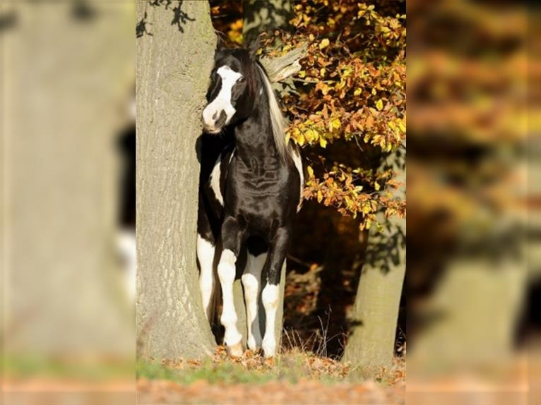 SH LIMITED EDITION Arabian Partbred Stallion Tobiano-all-colors