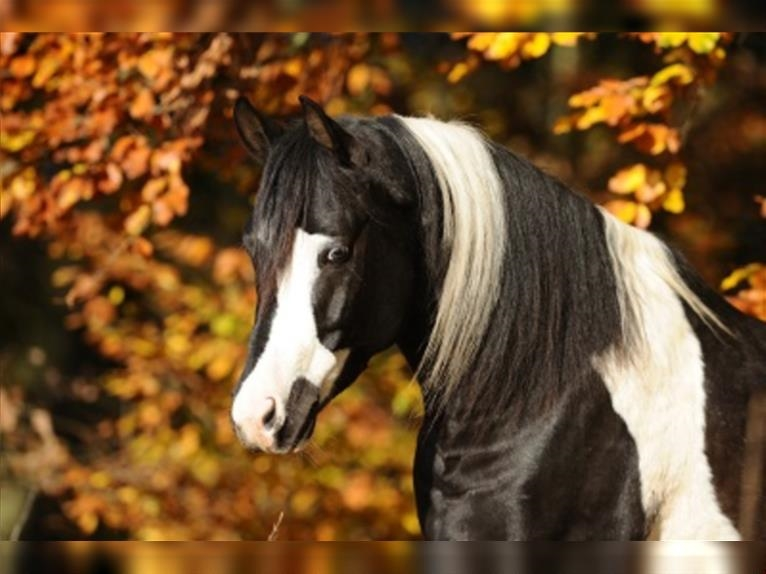 SH LIMITED EDITION Arabisches Partbred Hengst Tobiano-alle-Farben