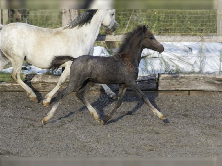 Welsh A (Mountain Pony) Stallion 1 year 12 hh Gray