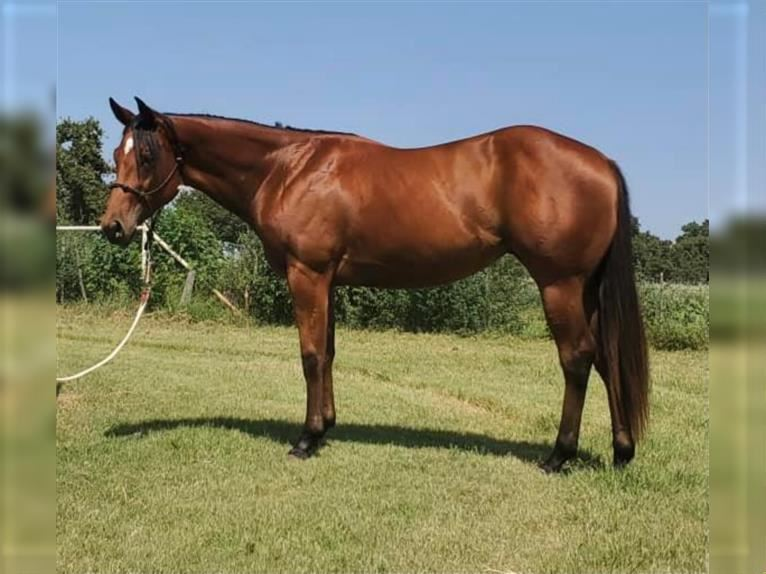 American Quarter Horse Mare 2 years Bay